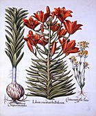 Orange Lily, Late-Blooming Blackstoria