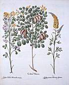Colutea Tree and Cytisus Varieties