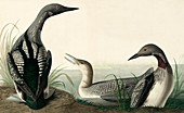 Black-throated Diver, Colymbus Arcticus, 1845