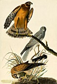 Hen Harrier, Circus Cyaneus, 1845