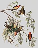 Red Crossbill, Loxia Curvirostra, 1845