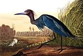 Blue Crane or Heron, Ardea Coerulea, 1845