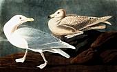 Burgomaster Gull, Larus Glaucus, 1845