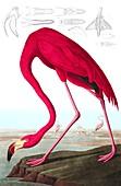 American Flamingo, Phoenicopterus Ruber, 1845