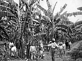 Banana plantation, Jamaica, c1905