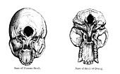 Human and orang-utan skulls, 1848