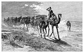 Camels carrying wool, 1886