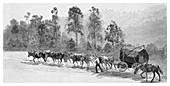 Cedar-getting on the Richmond River, Australia, 1886