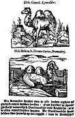 Pre-binomial classification of species, 1644