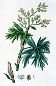 Rhubarb, 1823