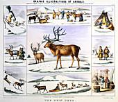 The Rein Deer', c1850