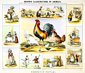 Domestic Fowl', c1850