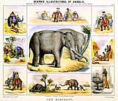 The Elephant', c1850