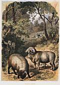 Merino sheep, c1860
