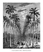 Avenue of palm trees, Cuba, 19th century