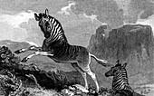A Quagga, 1815