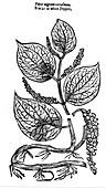 Black Pepper (Piper nigrum), 1640