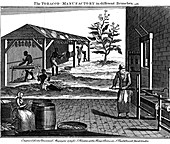 Various stages in the production of tobacco, Virginia, USA