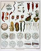 Animalcules' observed by Anton van Leeuwenhoek, c1795