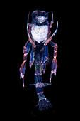 Phronima amphipod