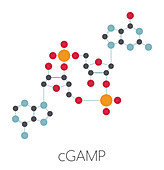 Cyclic guanosine monophosphate-adenosine monophosphate