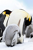 Emperor penguin and chick grooming