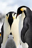 Emperor penguin pair and chick