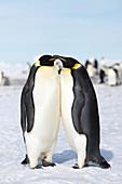 Emperor penguin breeding pair