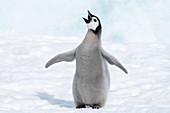 Emperor penguin chick vocalising
