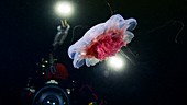 Diver photographing a lion's mane jellyfish