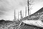 Dead trees buried by volcanic ash