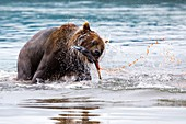 Female Kamchatka brown bear fishing for salmon