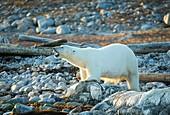 Polar bear standing over dead whale