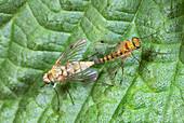 Little snipe flies mating