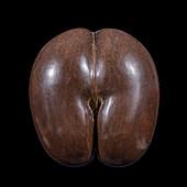 Coco de mer (Lodoicea maldivica) seed