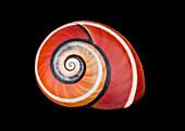 Cuban snail shell