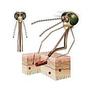 Female Anopheles mosquito feeding on blood, illustration