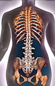 Normal spine, 3d CT scan