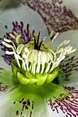Helleborus orientalis flower structure