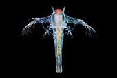 Brine shrimp, light micrograph