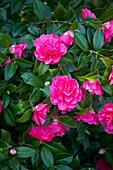 Camellia x williamsii 'Anticipation' flowers
