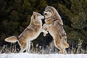 Beta male gray wolf fending off female