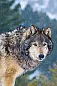 Male grey wolf