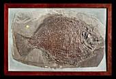 Dapedius granulatus fossil fish