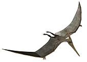 Pteranodon, illustration