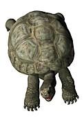Giant tortoise, illustration
