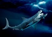 Megalodon and shark, illustration
