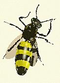 Bee, illustration