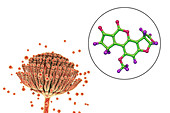 Aspergillus fungus and aflatoxin B1 molecule, illustration