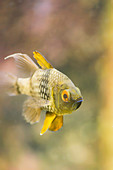 Tropical freshwater fish